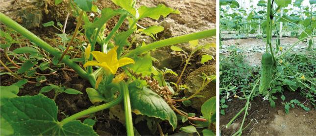 Beneficios en el cultivo Quayat
